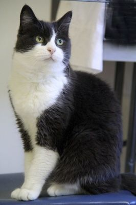 Meet Priscilla A Petfinder Adoptable American Shorthair Cat