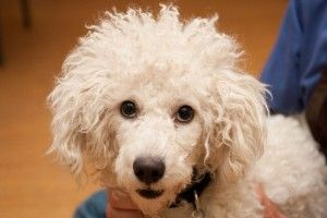 Adopt Jerome On Poodle Dogs Pup