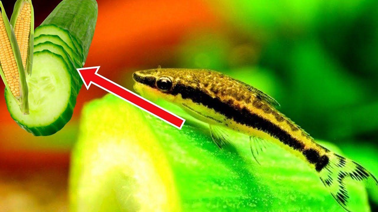 Aquariums: Feeding Aquarium Fish Blanched cucumber and ...