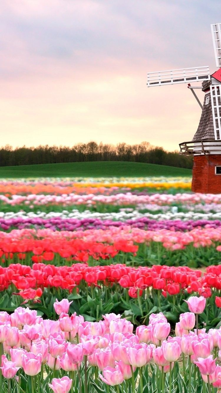 x Pink Tulip Fields desktop PC and Mac wallpaper