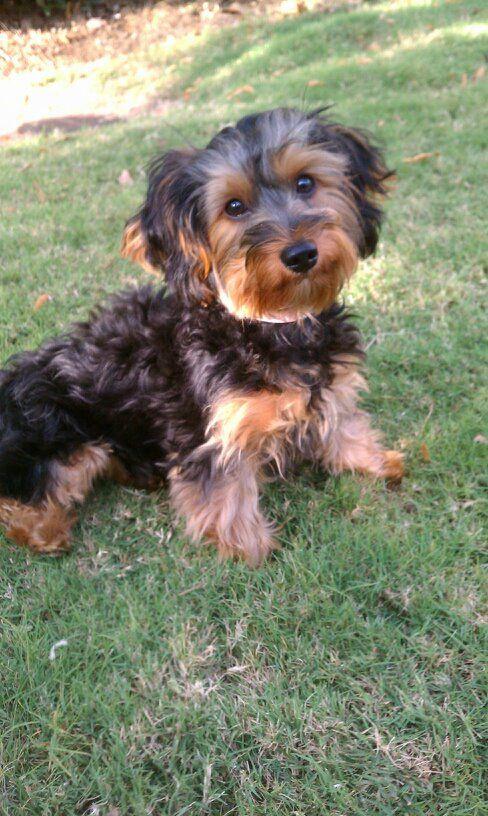 Yorkie Poo Aka My Future Puppy Aka Audrey Yorkie Poo Yorkie Poo Haircut Biewer Yorkie
