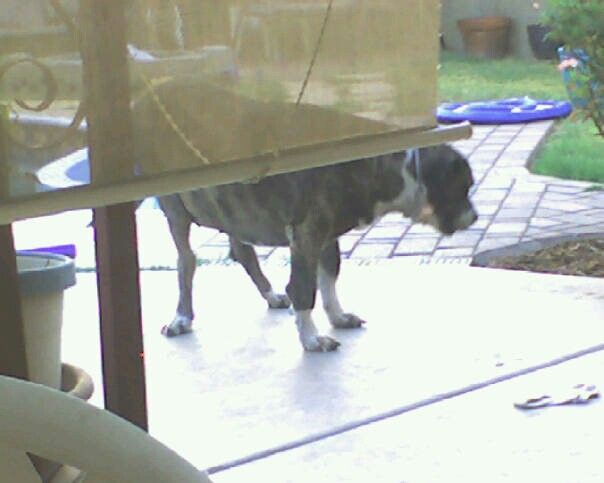 This Is My Precious Riley Aka Moose She Was A Great Dane But A