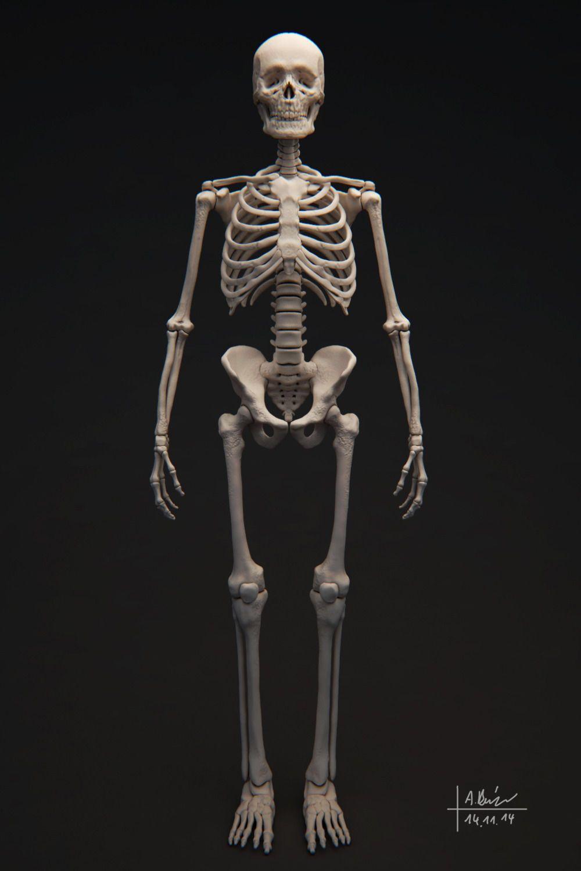 Human Skeleton 3d Model Anatomy Full Pinterest Skeleton