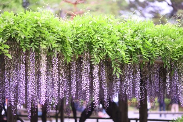 Pin by S K on Just Wisteria | Pinterest | Wisteria, Garden trees and ...