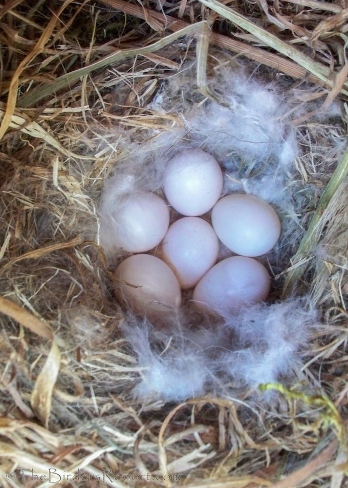 Oak Titmouse Nest And Eggs Bird Eggs Nest House Sparrow Nest