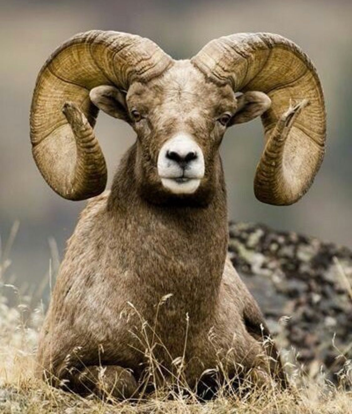 Big Horn Sheep Animals Pinterest Horn Animal And Big
