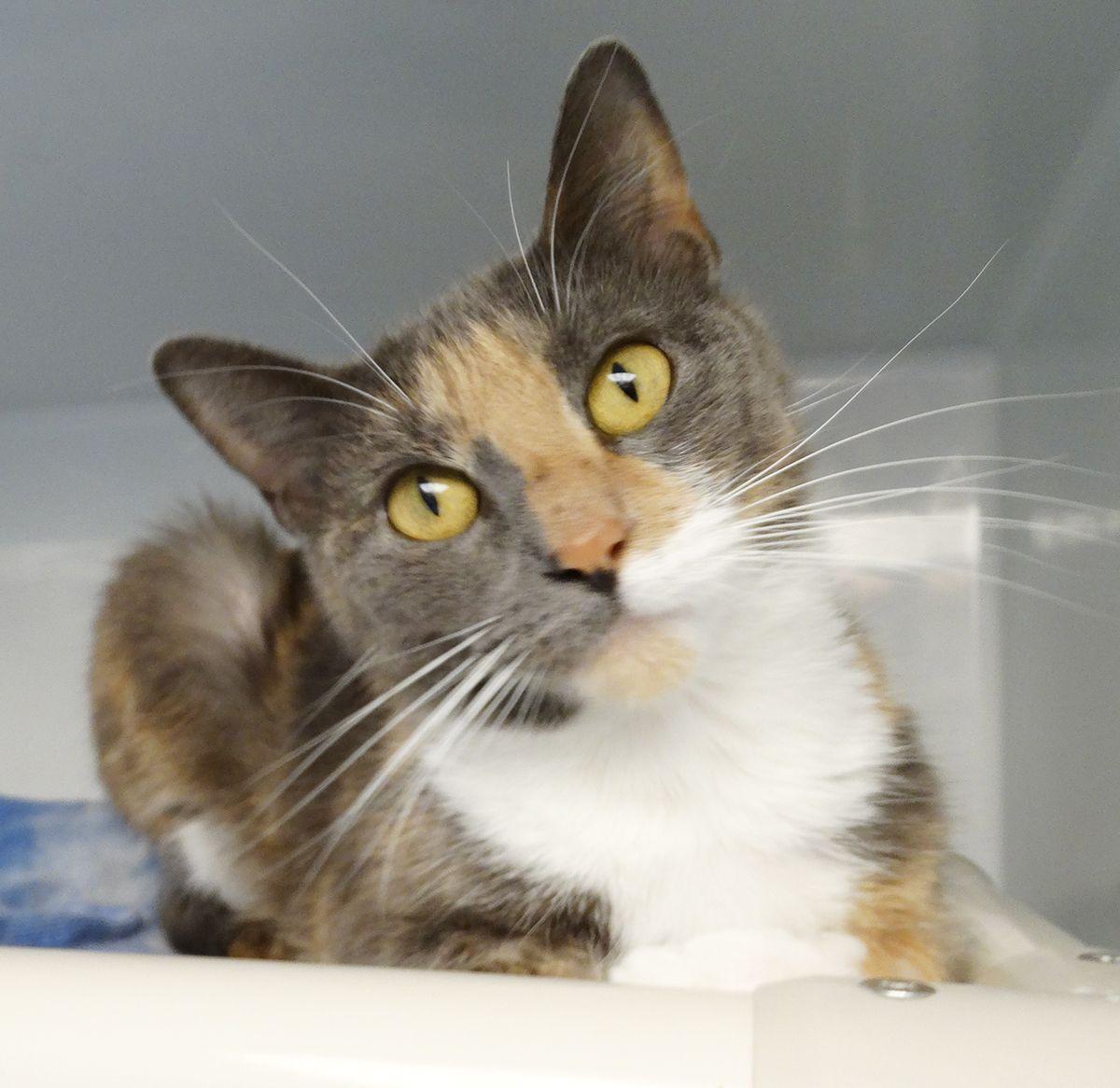 Adopt Henley On Animal Welfare Society Pets Cats