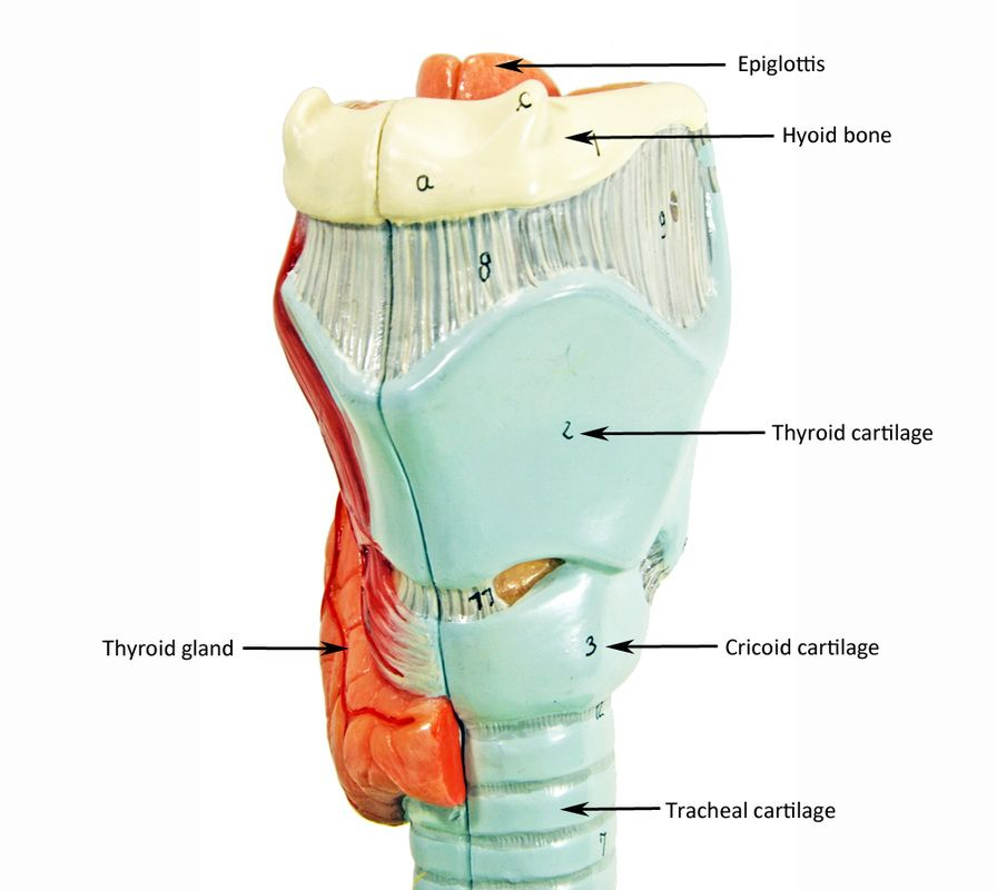 Larynx Model Labeled Google Search Anatomy Models Human Anatomy Trachea