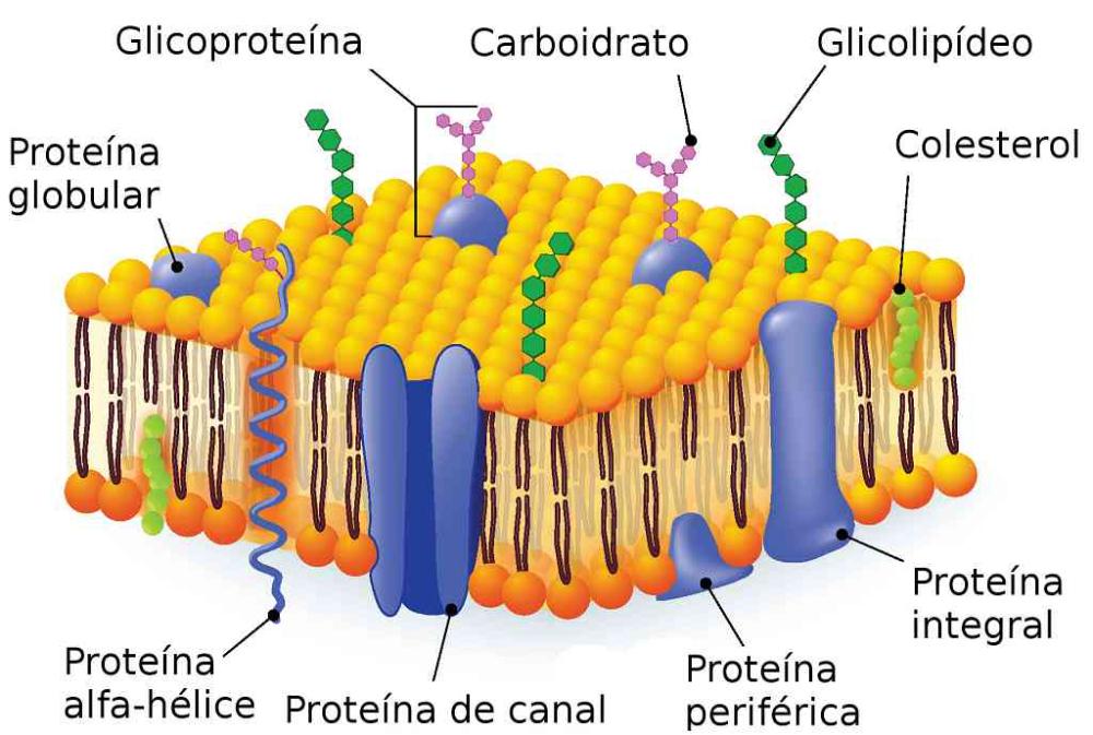 Dibujo De La Membrana Celular Y Todas Sus Partes Busqueda De Google Membrana Plasmatica Biologia Celular Biologia