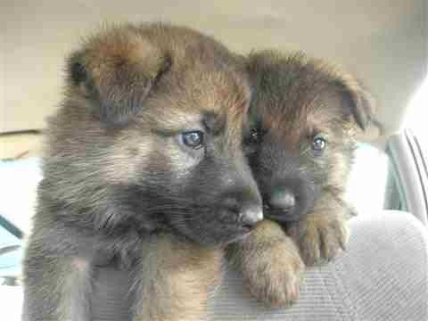 8 Week Old Male Pups In Sf Craigslist German Shepard Puppies Puppies Dogs And Puppies