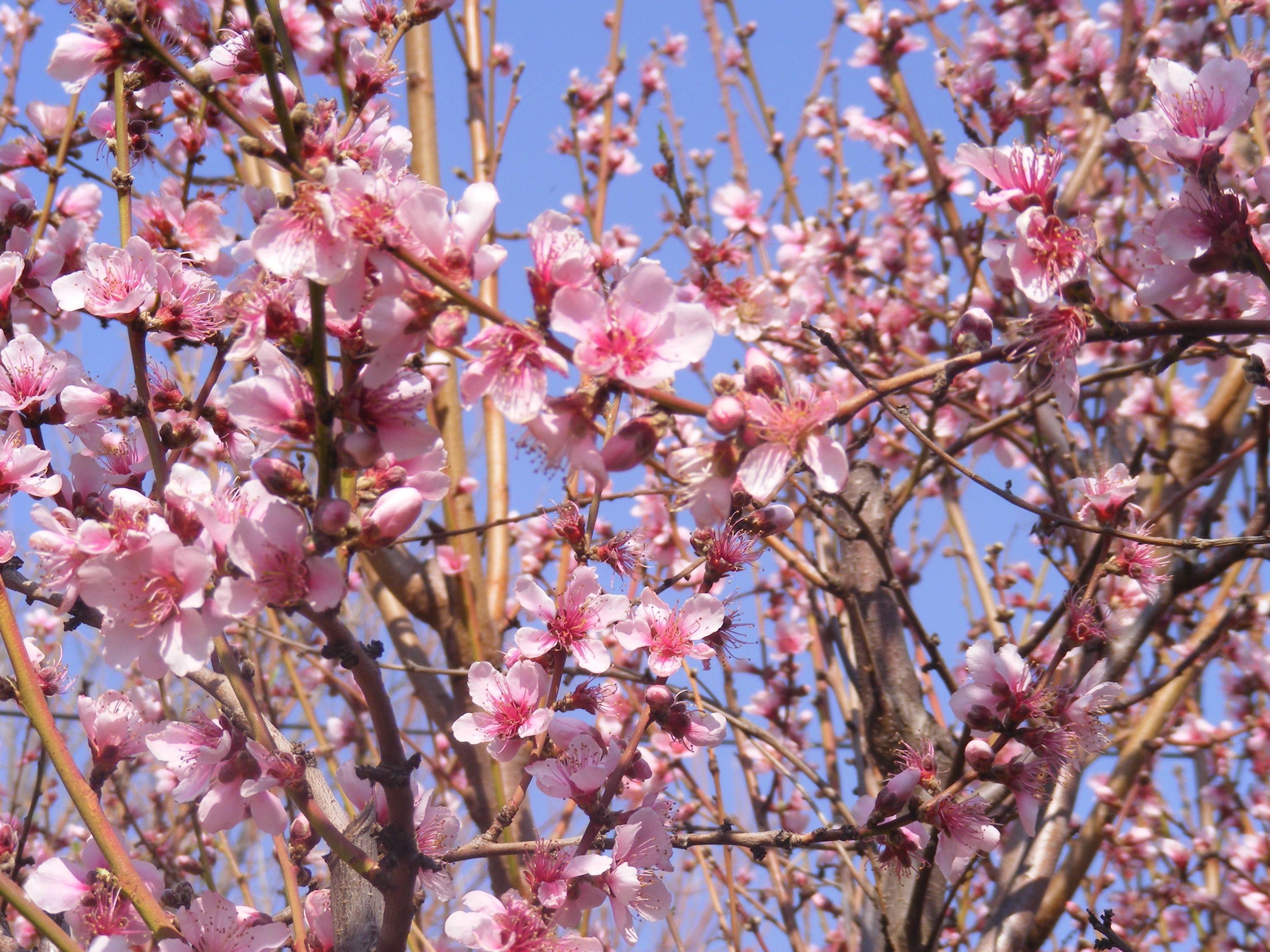 A Peach Tree In Full Blossom Peach Trees Blossom Fruit Trees