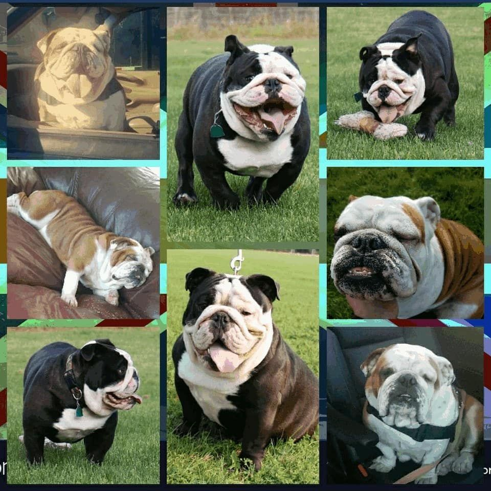 Hi There I M Joe And I Provide Puppies From My Home In Washington I Began Breeding Dogs In 1997 And Today I Specialize In Bulldog Bulldog Puppies Dog Breeder