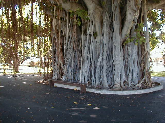 Banyan tree on ford island nature pinterest hawaii and banyan tree on ford island fandeluxe Choice Image