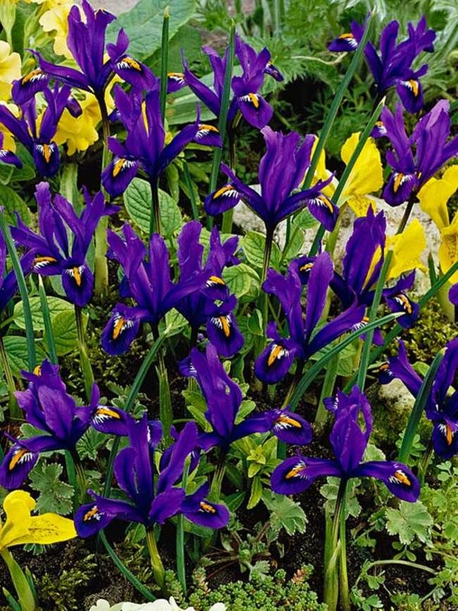 Dwarf Iris Reticulata PURPLE /& BLUE MIX Spring Flowering Garden Bulbs Plants