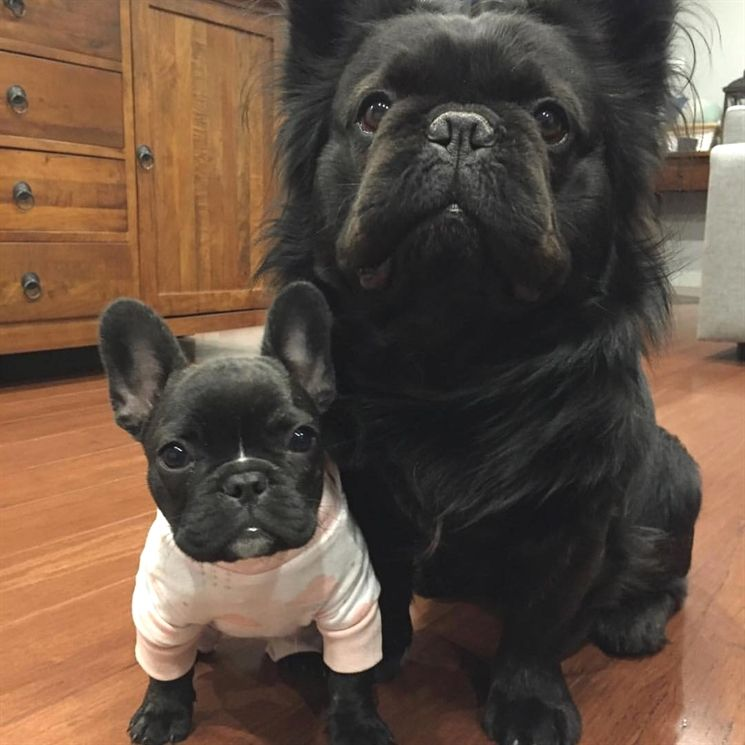 One Day I Hope To Grow Big And Strong Too French Bulldog Puppy