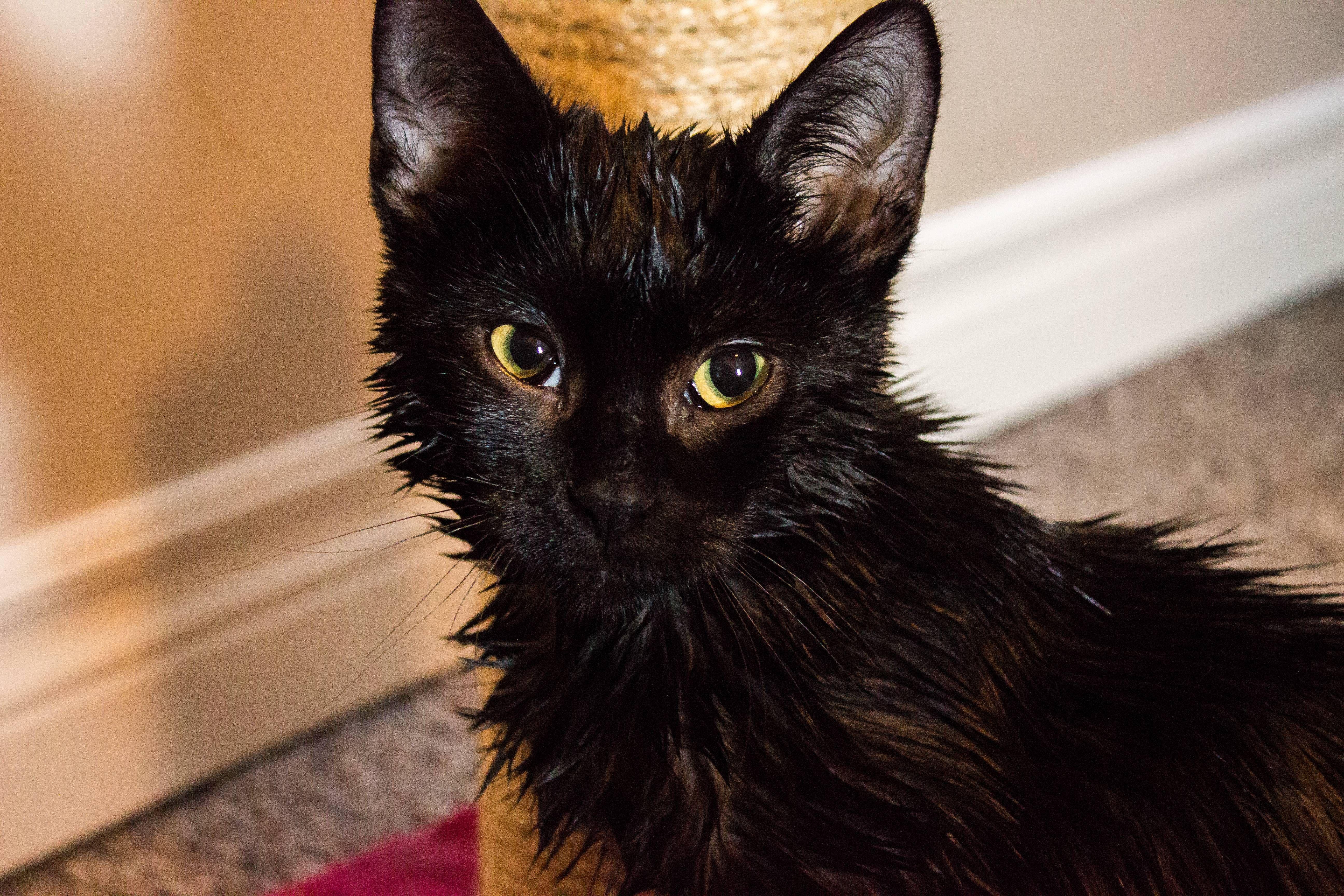 Stanky foster cat got a bath. Reddit meet Tony.