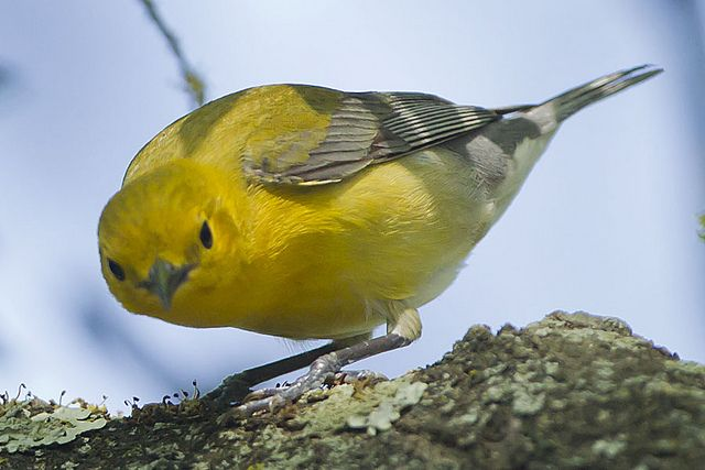 PROTHONOTARY WARBLER by nsxbirder, via Flickr
