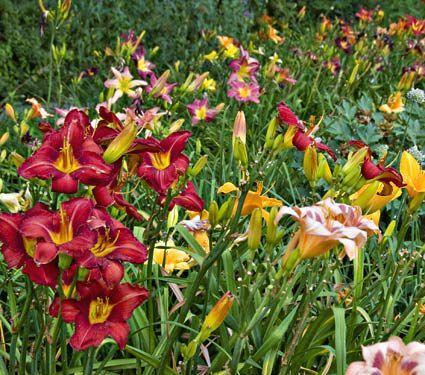 Crescendo Daylily (Hemerocallis) Collection
