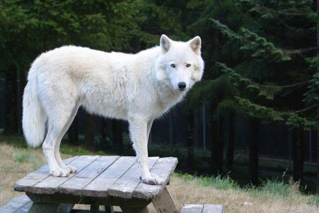 Chrionex White Wolves Dangerous dogs, Best dog breeds