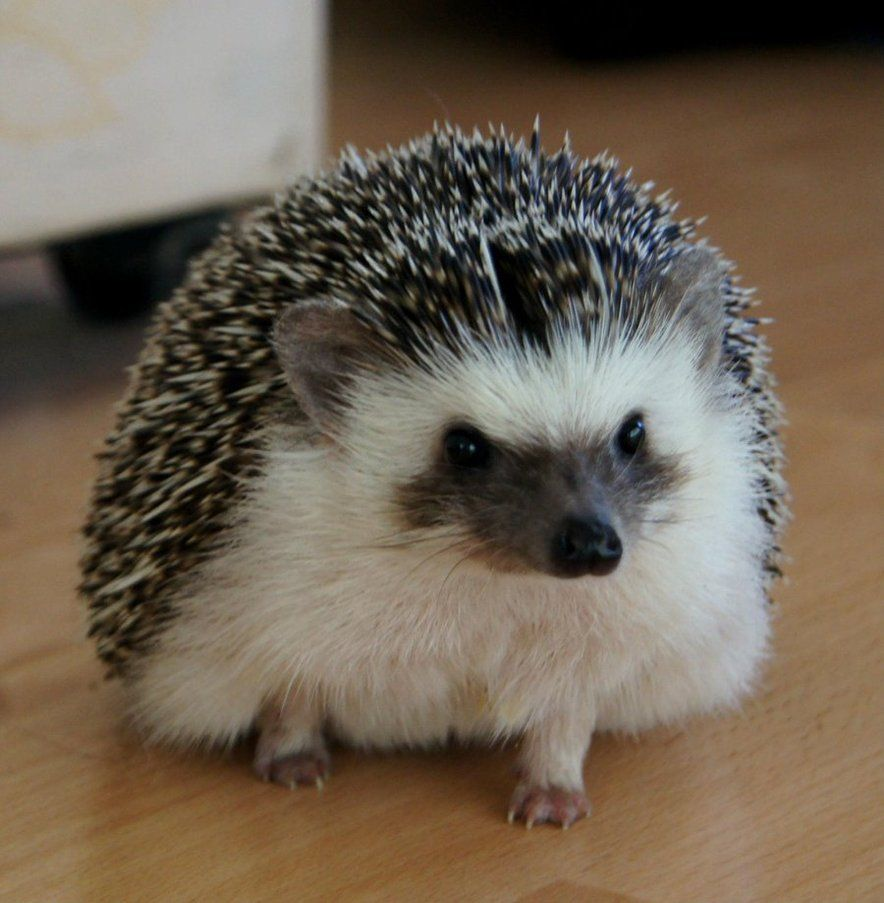 Bailey The African Pigmy Hedgehog By Babyberry15 On