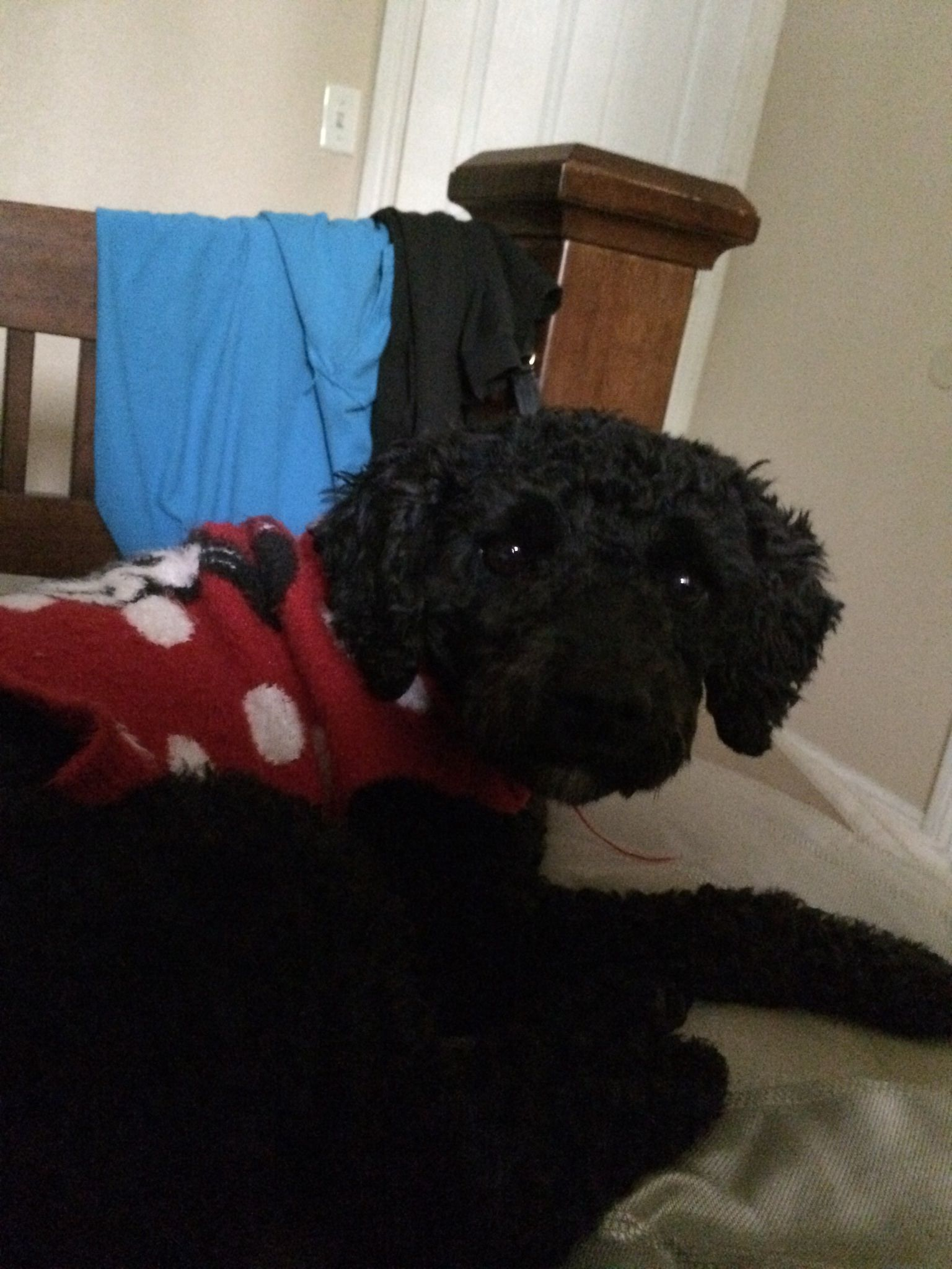 Poodle Rescue Network Of Southern California Please Help My