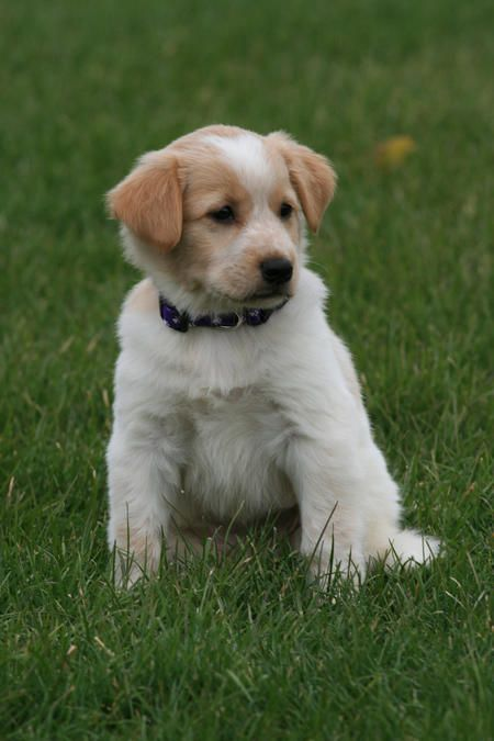 Ohmygoodness Golden Retriever Maltese Mix Golden Retriever