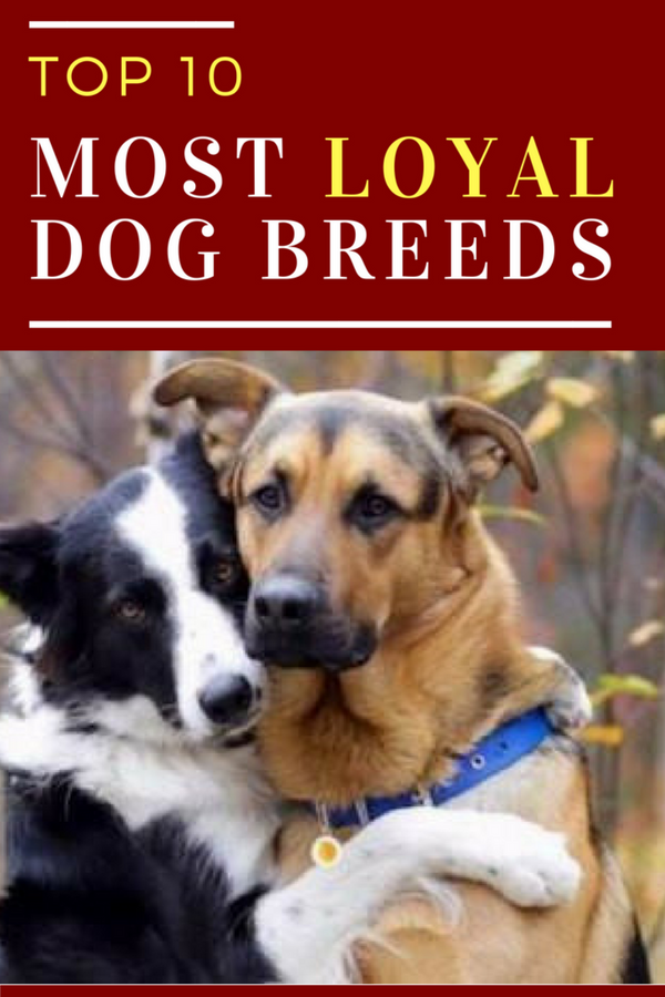 Top 10 Most Loyal Dog Breeds Best Of Dogs And Cats