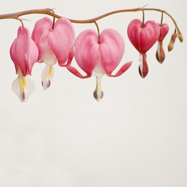 Pin By Leslie Dinapoli On Tattoo Inspiration Heart Flower Tattoo Bleeding Heart Flower Flower Drawing