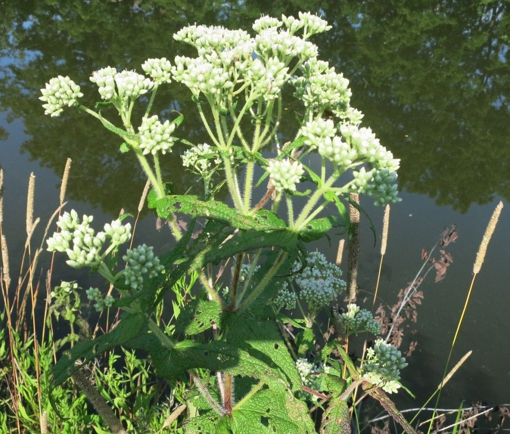 Boneset knocks out colds and flu clear out of the park– harvest now and be prepared