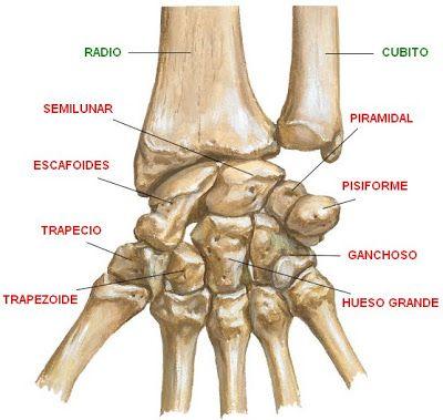 Huesos del carpo (muñeca)   Anatomía para el movimiento   Pinterest ...