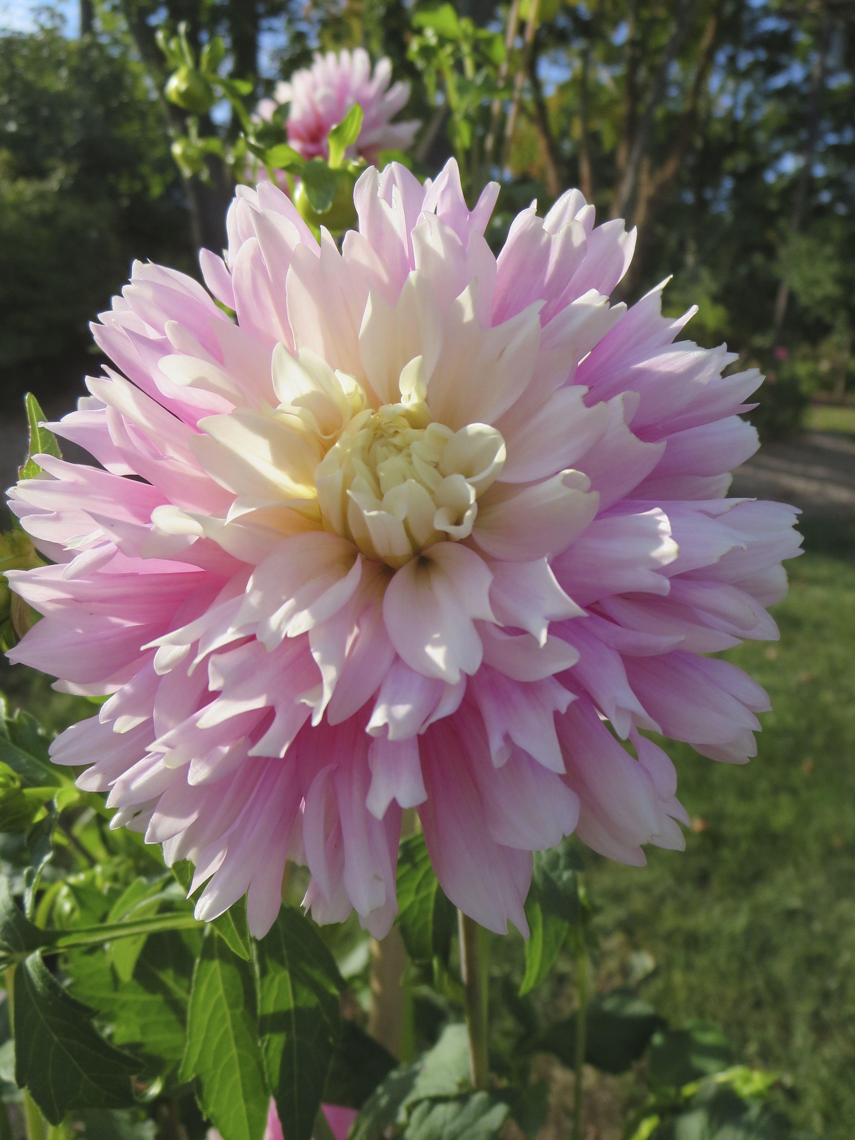 Dahlia Chilson S Pride Tall Long Stems Beautiful Flower Identification Flower Farm Flower Landscape