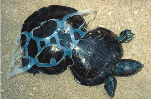 Turtle Stuck In Soda Can Six Pack Ring Ocean Pollution Marine Animals Animals