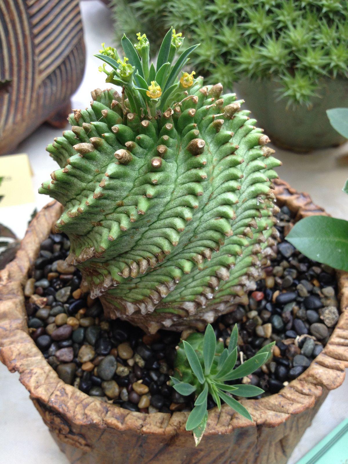 Euphorbia Obesa X Bupleurifolia