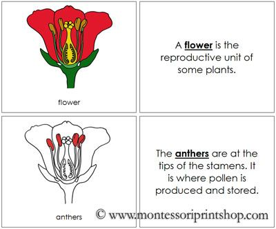 Flower Nomenclature Book Red Parts Of A Flower Flowers Picture Cards