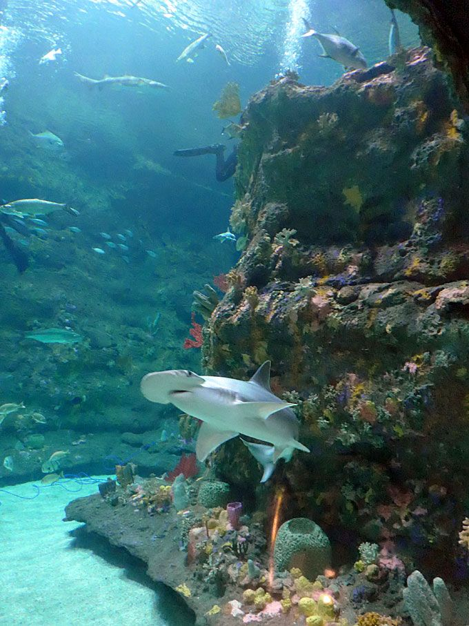 Fort Fisher Aquarium- Hammerhead Shark - Kure Beach, NC ...