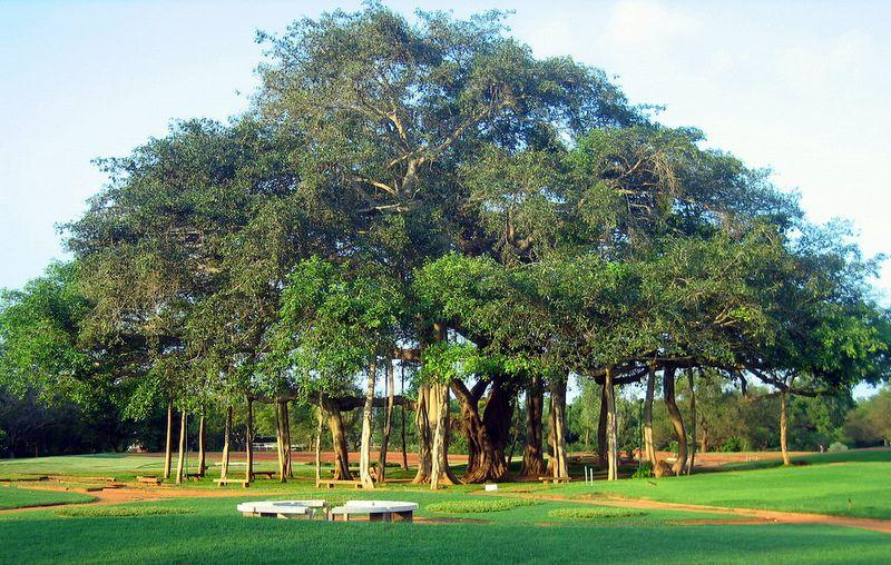 36++ Banyan tree golf information