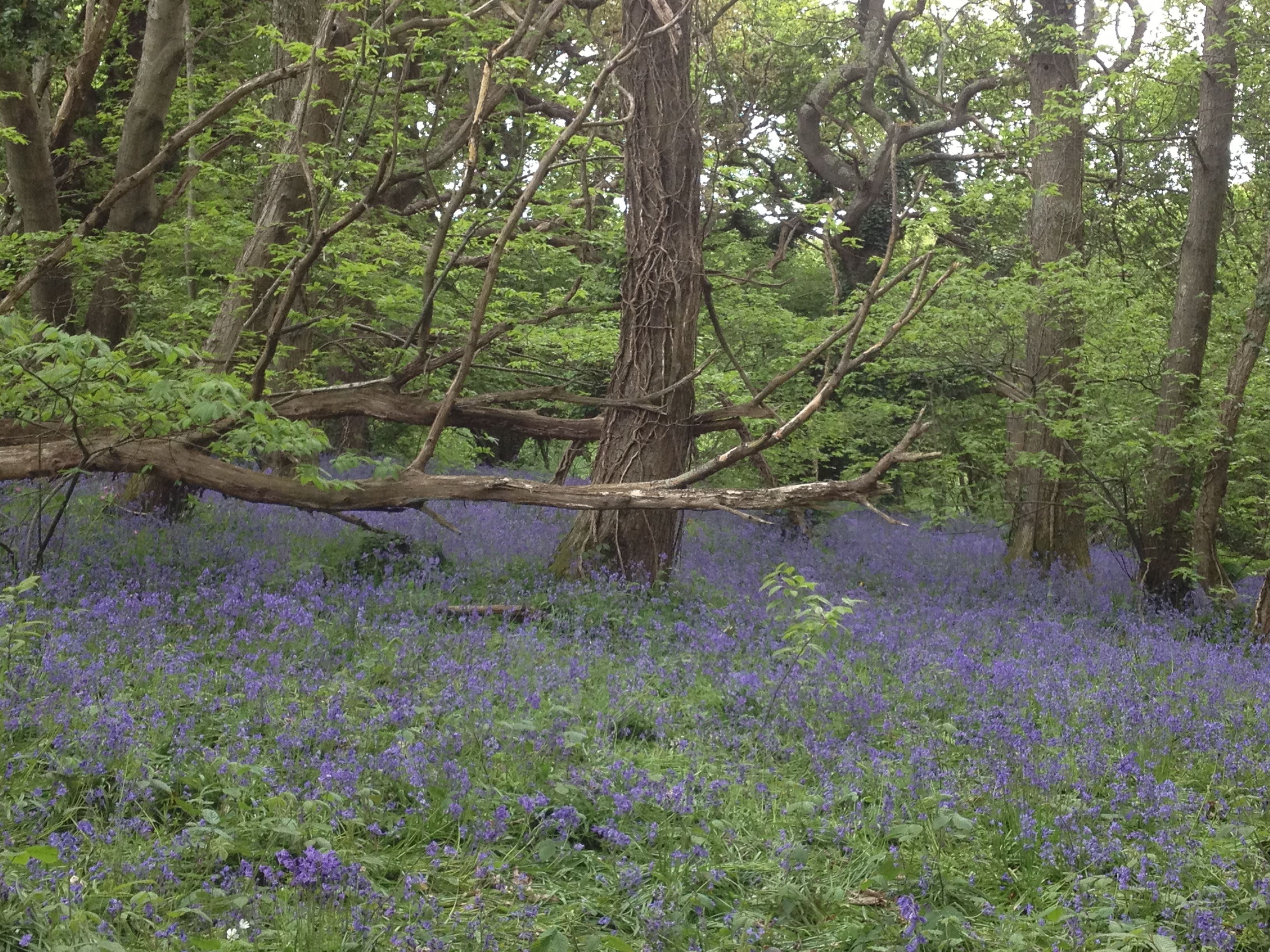 Bluebells in Boarswood, Isle of Wight