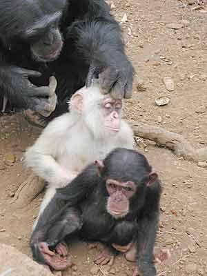 Resultado de imagen para chimpance albino