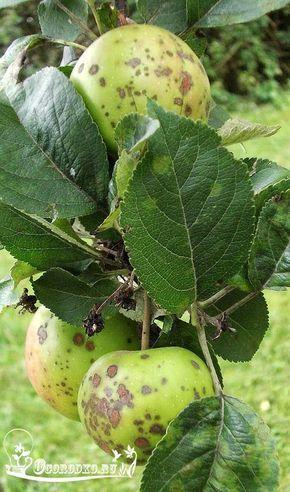 Парша яблони: что делать, если парша на яблоне? Как вылечить ...