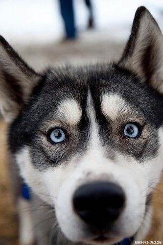 Husky With Pretty Blue Eyes That Sink Into You And Make You Feel