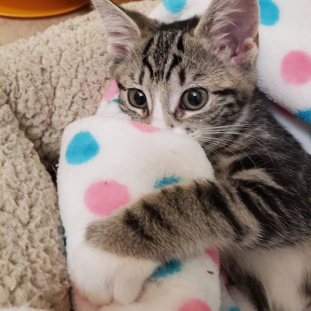 Lightning Is Hugging Her Blanket And Ready For Night Night She Is Also Ready For Her Forever Home Fill Out The Application In The Cat Day Tabby Kitten Kitten