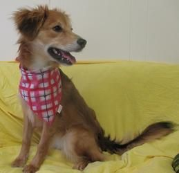 Adopt Cinnamon On Living With Cats Humane Society Sheltie