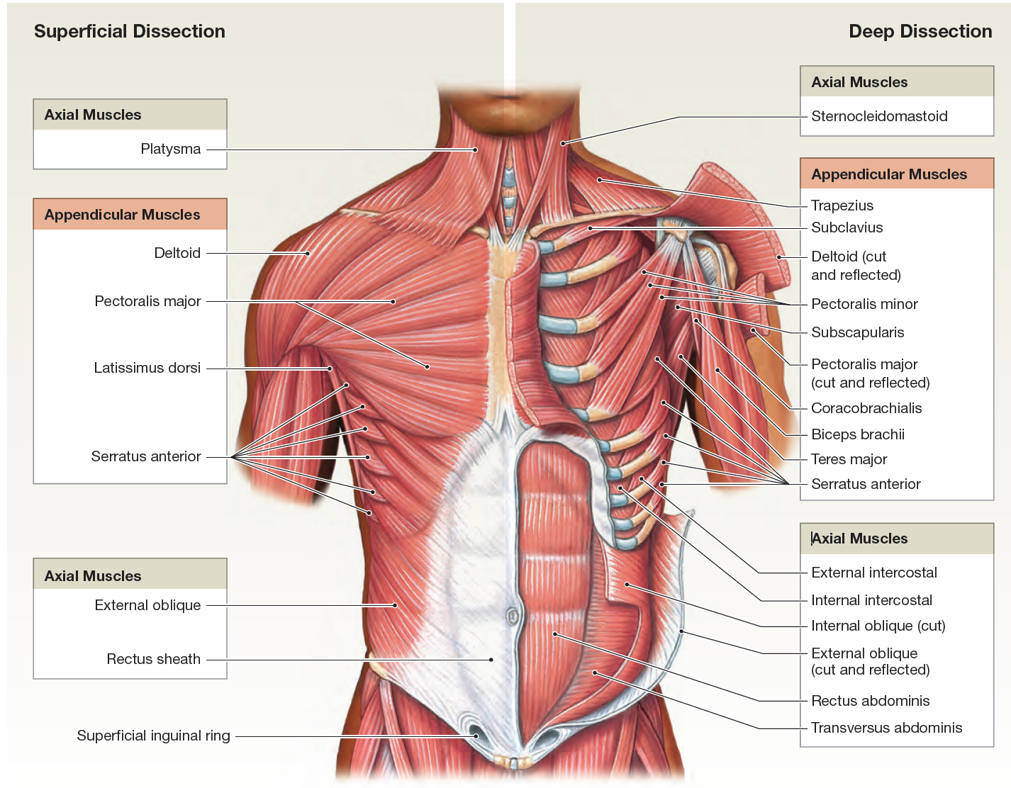cancer muscle abdominal