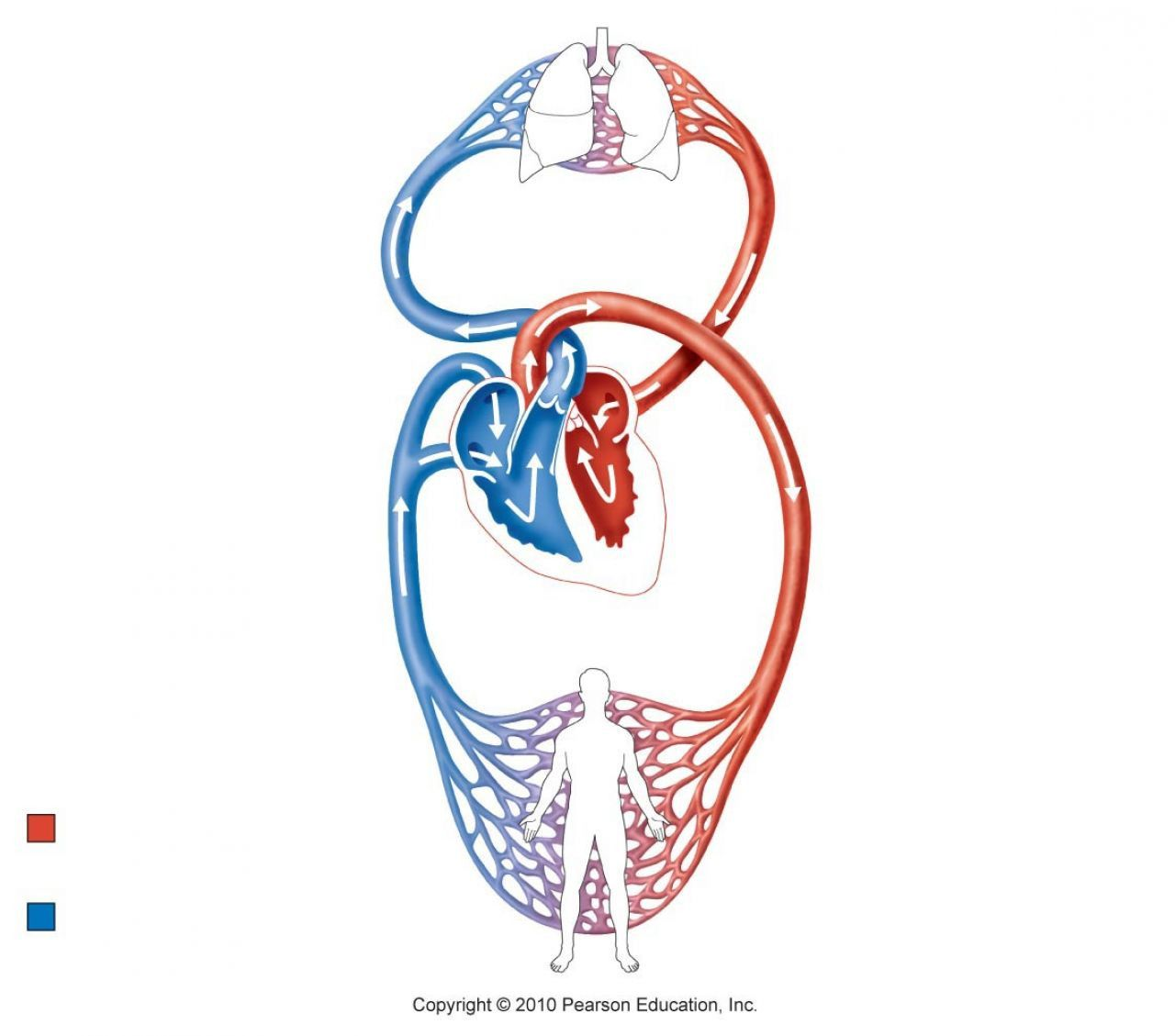 Circulatory System Diagram Without Labels Awesome Heart