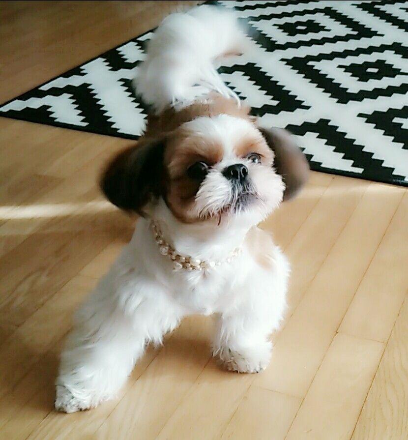 Shih tzu puppies co down