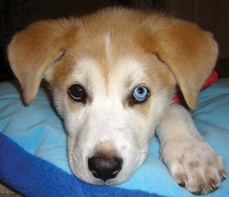 Cooper The Husky X Irish Setter With Images Labrador Puppy