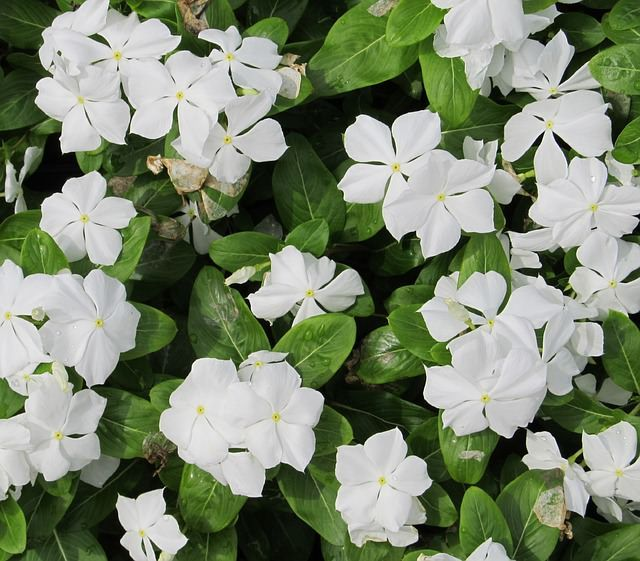 13 Common Flowers That Are Poisonous You Never Knew Vinca Minor Vinca Australian Plants