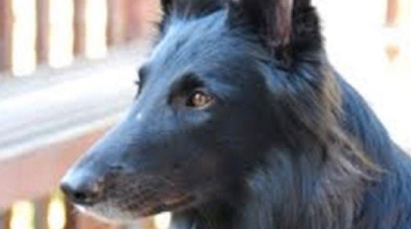About That Premature Graying Belgian Shepherd Shepherd Dog Dog Breed Info