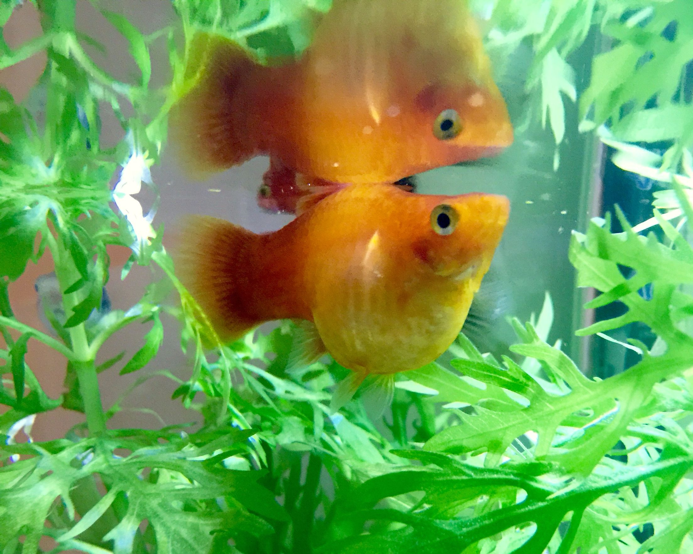 Freshwater aquarium fish easy to breed - Humongous Platy Belly Livebearer Fish Aquarium Decoration Caves For Breeding Cichlids And Hiding Fry Pinterest