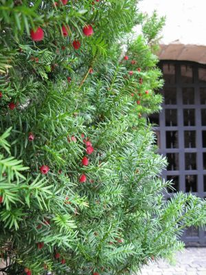 Yew Tree Taxus Baccata Saw One Of These In Summerside Today I Would Like To Aquire One For My Yard Do Not Eat Th Garden Hedges The Cloisters Taxus Baccata
